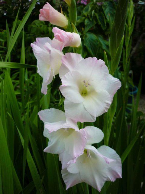 plants-gladiolus01
