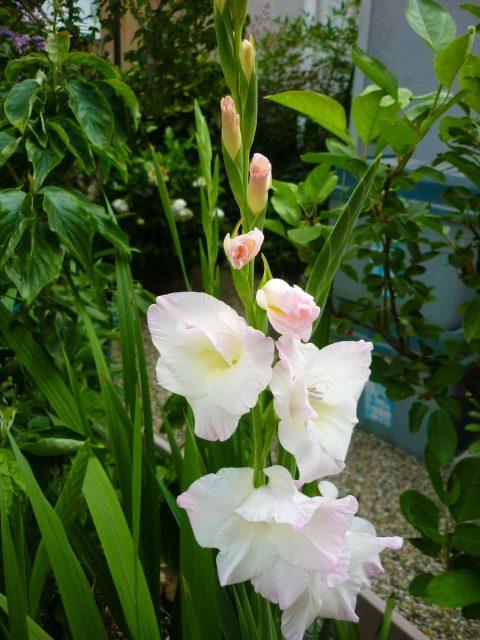 plants-gladiolus03