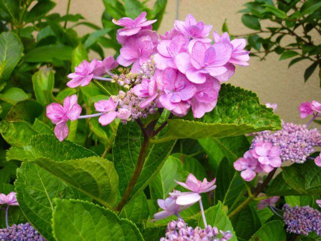 plants_lacecap-hydrangea02