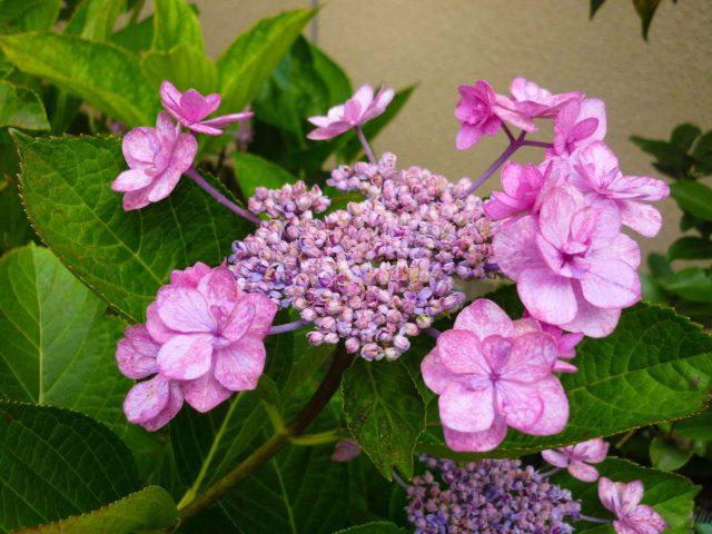 plants_lacecap-hydrangea03