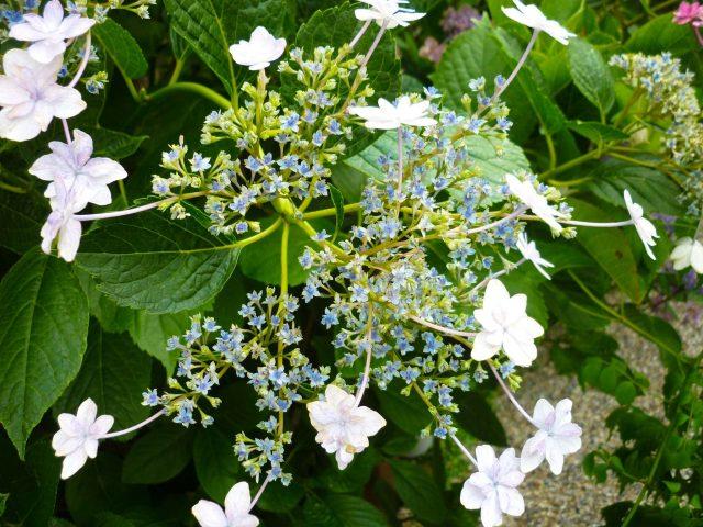 plants_lacecap-hydrangea04