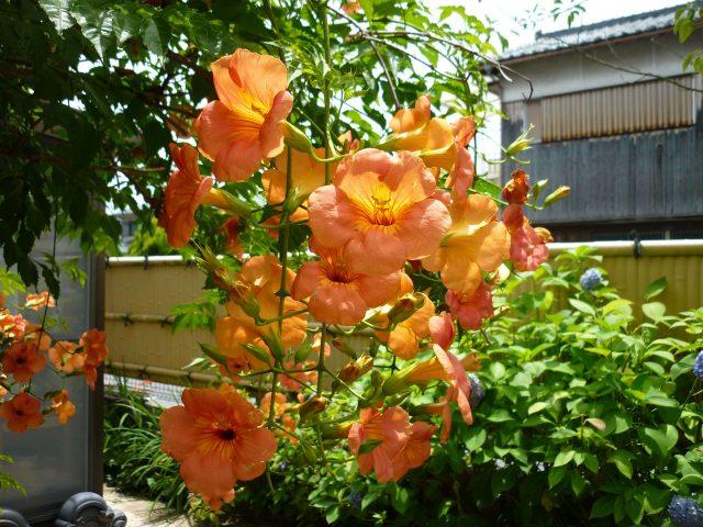 plants_nozenkazura01