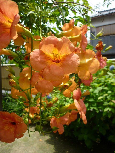 plants_nozenkazura02