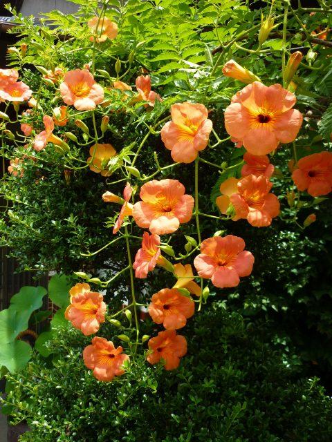 plants_nozenkazura03