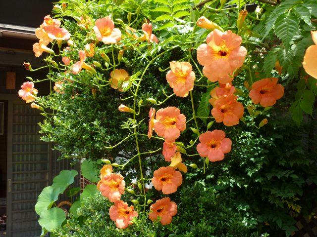 plants_nozenkazura04