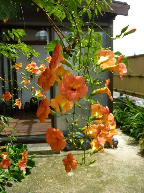 plants_nozenkazura07