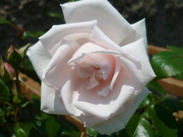 plants-rose01