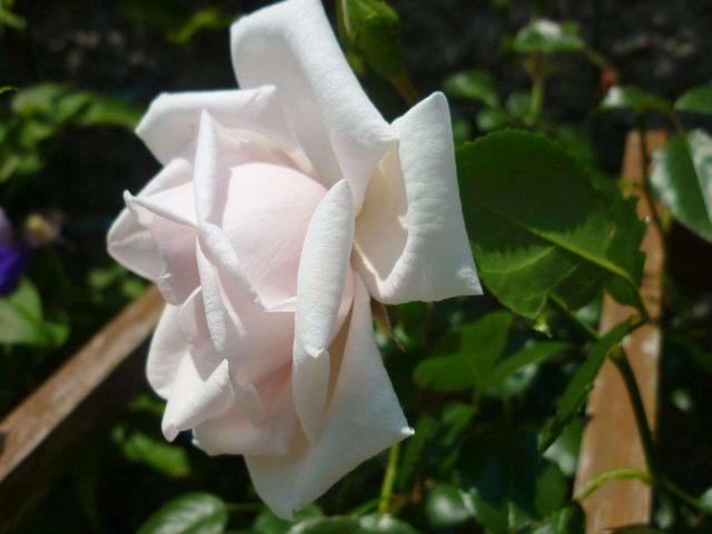 plants-rose02