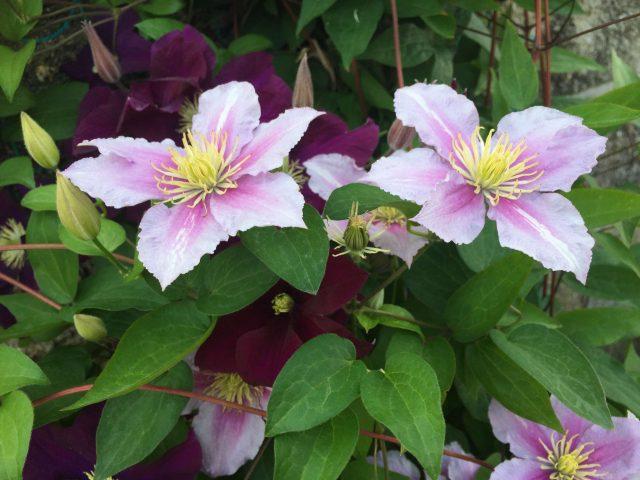 plants_clematis04