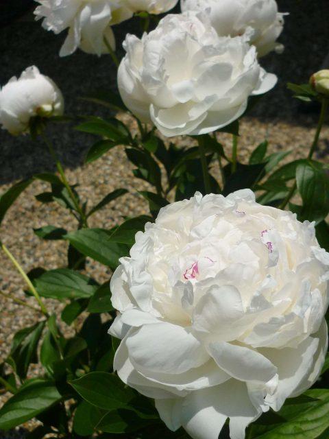 plants_shakuyaku04